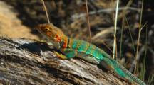 Collared Lizard, Arizona, Usa