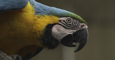 Close up on face of Blue-and-yellow Macaw
