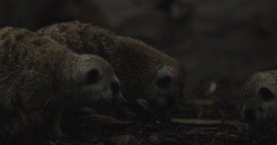 Meerkats feeding