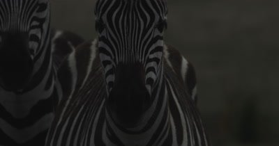 Close up on Zebra face, watching the camera
