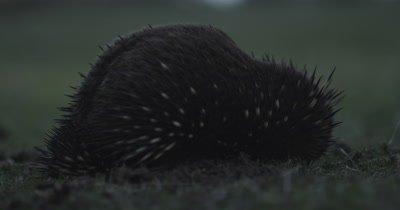 Echidna in grass