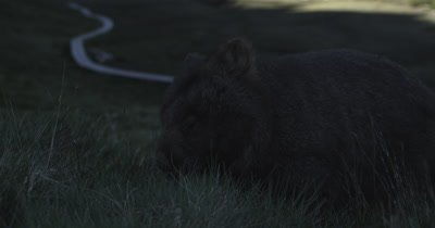 Wombat in the grass
