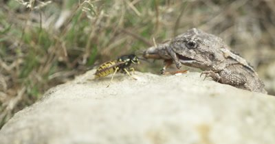 Lizard feeds on grasshopper-like insect while a wasp hovers nearby
