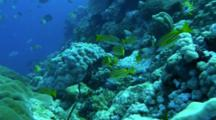 Coral Reef With Stone Corals Snappers