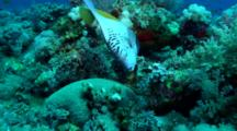 Arabian Angelfish Over Coral Reef, Red Sea