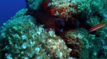 Mediterranean Moray Eel, Corsica, France