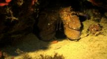 Slipper Lobster, Mediterranean Sea
