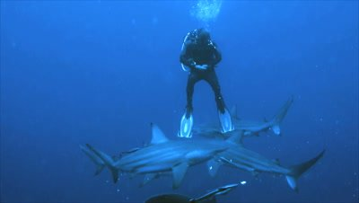 group of oceanic blacktip sharks come close to single scubadiver in open water,diver lifts his legs,shark pass under him,South Africa