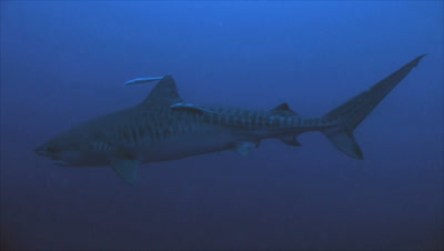 tiger shark in dark blue water, two remora fish follow him, swimming slowly