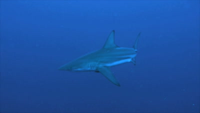single oceanic blacktip shark in open sea, blue water background, no other shark or diver, South africa
