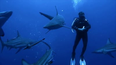 group of oceanic blacktip sharks come close to single scubadiver in open water, sharks move around him, bait in water, South Africa
