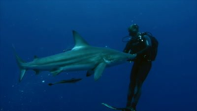 scuba diver feeds single oceanic blacktip shark in open water, puts bait into water, shark feeds, South Africa