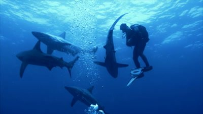 group of oceanic blacktip sharks come close to single scubadiver in open water, sharks move around him, South Africa