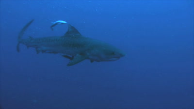 young tiger shark swims in open blue waters, two remora around, South Africa