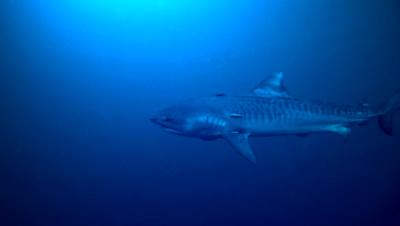 tiger shark in dark blue water, remora fish around, swimming slowly