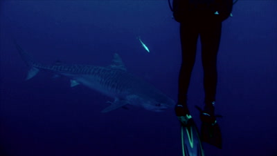 tiger shark in dark blue water, swimming slowly behind diver´s legs in foreground, South Africa