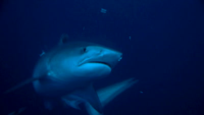 tiger shark in dark blue water, swimming slowly between divers, turns around, South Africa