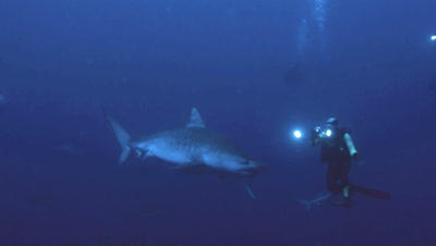 tiger shark moves slowly in front of under water videographer, using lights, blue water background, South Africa