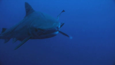 tiger shark moves directly towards camera, turns away, blue water background, South Africa