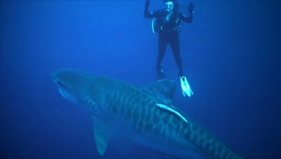 tiger shark and scuba diver in blue water environment, shark passes diver close, South Africa