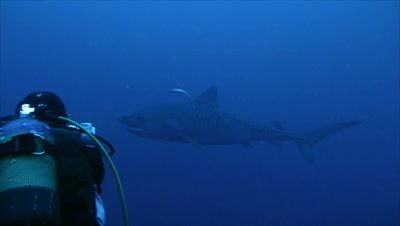 silhouette of slowly moving tiger shark in blue water, scuba diver in foreground, South Africa