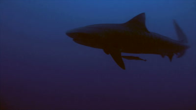 tiger shark in blue water, descending from water surface, moves towards camera and swims away, silhouette, South Africa