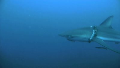 dusky shark in blue water, tracking shot, shark suffers from parasites around his neck