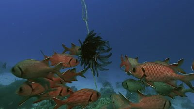huge shoal of squirrel fishes swim around feather sea star, camera moves slowly towards fish and sea star, Palau