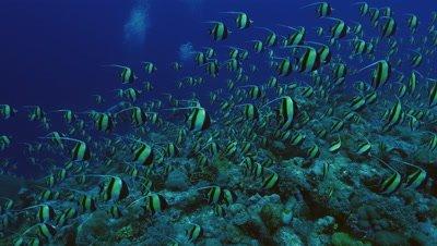 big shoal of moorish idols, assembling over coral reef, moving, blue water background, Palau