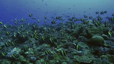 huge school of moorish idols swimming over coral reef, blue water background, Palau