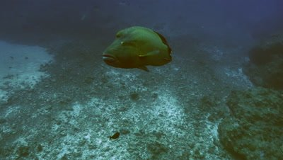 Napoleon wrasse over wide coral reef landscape, total shot, tracking, Palau