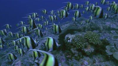 total shot of schooling moorish idols over coral reef, moving fast, Palau
