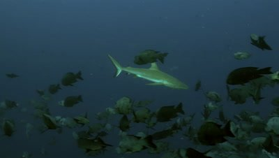 grey reef shark swims through shoal of black snapper,Palau