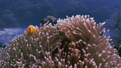 clownfish in anemone,reef in background,Palau
