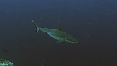 tracking shot of Grey Reef shark swimming at reef drop off,Palau