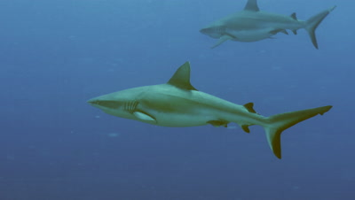 group of Grey Reef sharks in blue water,Palau