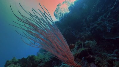 total shot of Sea Whip corals at coral reef drop off,low angle shot,Palau