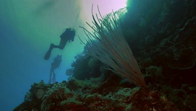 sea whip coral and two scuba divers,reef landscape,Palau