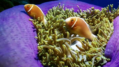 close shot of clownfish moving in purple based anemone,Palau