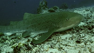leopard shark resting on sea floor,Palau