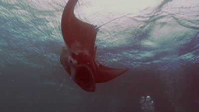 big manta ray does many loopings in front of camera,feeding action,under water surface,Palau