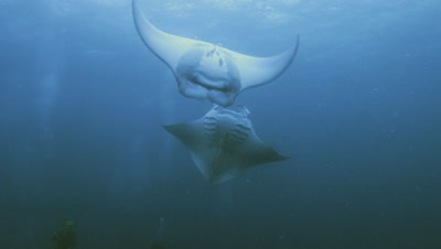 two manta rays in feeding activities,swimming loopings,Palau