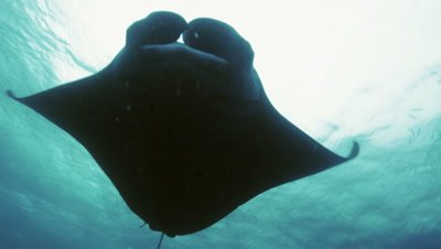 huge manta ray passes overhead under water surface,Palau