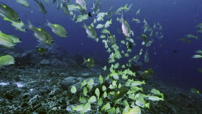 various species of tropical fish schooling together over coral reef,Palau