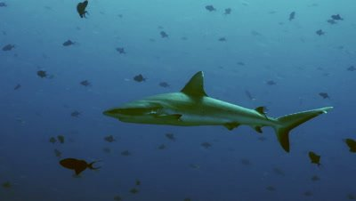 grey reef shark cruises in blue water,triggerfish around,Palau