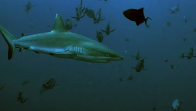 close encounter with Grey Reefshark,black snapper and triggerfish around,Palau