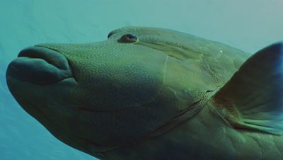 close shot of big Napoleon Wrasse,head close,Palau