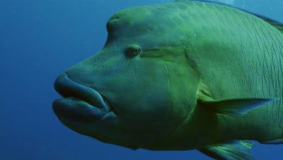 close encounter with big Napoleon Wrasse,Palau