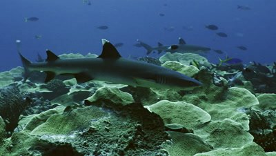 white tip reef shark swims over coral reef plateau,tracking shot,close,Palau