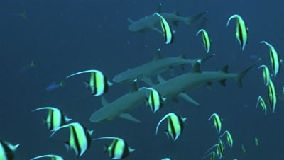 four whitetip reefsharks arrive from the blue,moorish idols in foreground first,Palau,